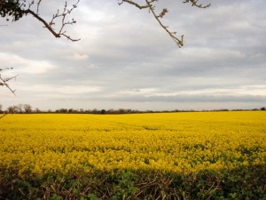 Rapeseed (Brassica napus) - inspiration in a field - peter donegan garden design