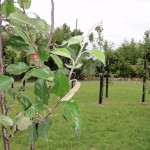 peter donegan landscaping ltd - fruit trees
