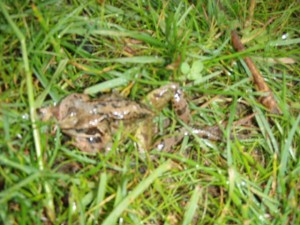 frogs peter donegan landscape garden domestic