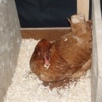 hen making the nest