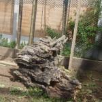chicken hen feature old tree stump