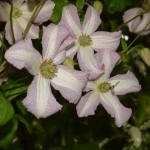 clematis-little-nell