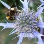 eryngium-bourgatii-oxford-blue