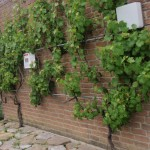 supporting climbing plants on walls