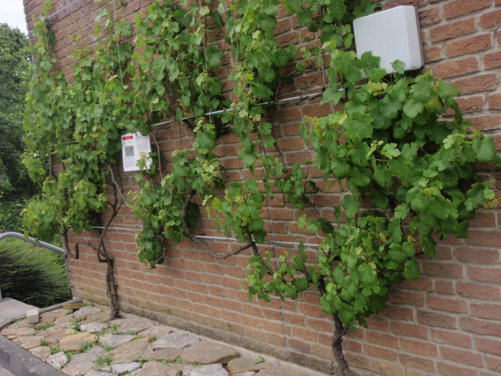 Climbing vines for walls - Supporting Climbing Plants On Walls