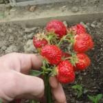 strawberry-fruit fragaria