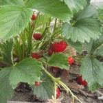 elsanta strawberry plants fruit