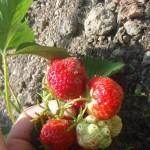 strawberry-fruit