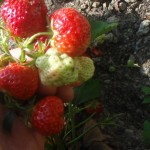 strawberry-plants-fruiting