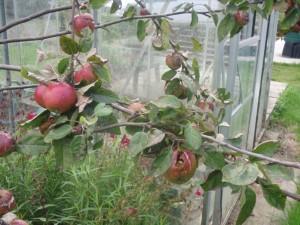 fruit-trees-pests ireland wasps