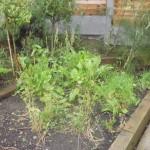 herb-garden-september