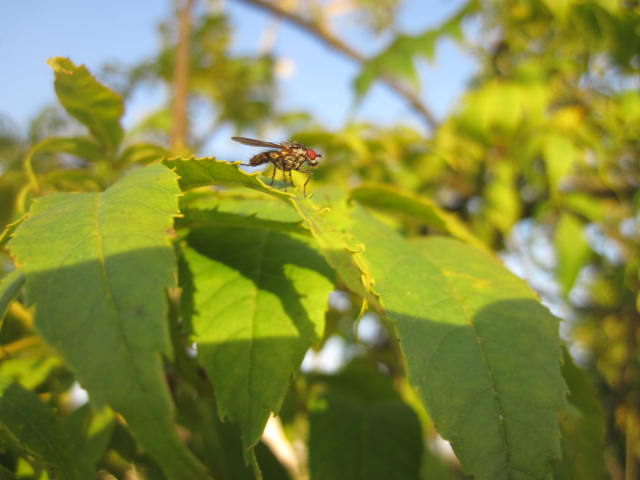 insect on ash tree leaf