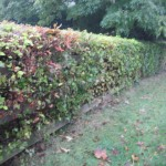 hedges