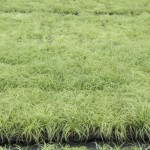 carex-oshimensis-evergold-7