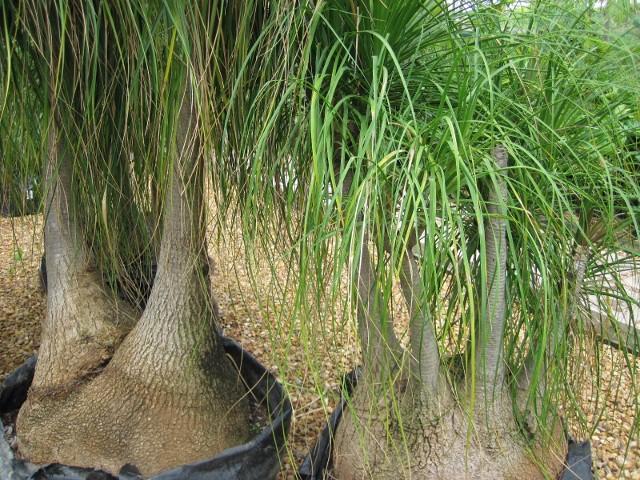 Beaucarnea recurvata peter donegan landscaping ltd dublin - Planta pata de elefante ...