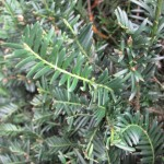 native-irish-trees-yew-taxus-baccata