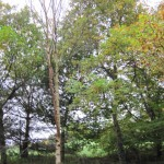 native-irish-trees-birch-betula