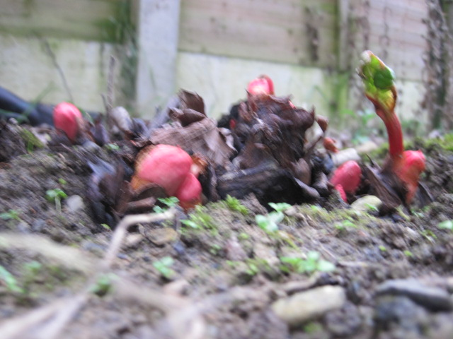 how to know if rhubarb is ripe