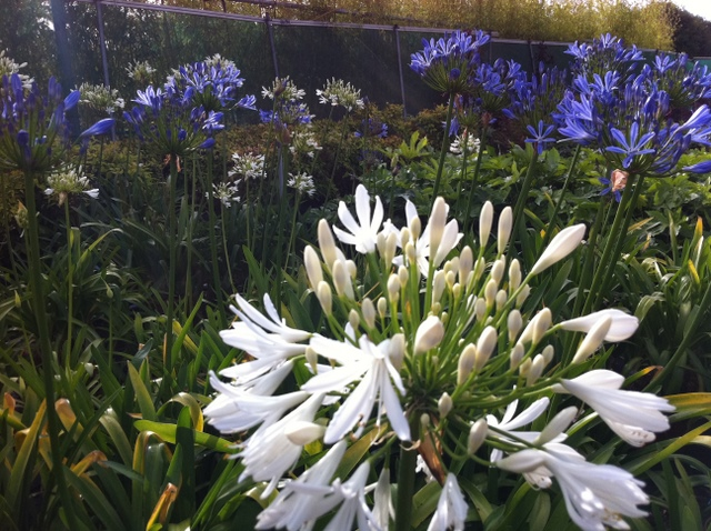 agapanthus africanus