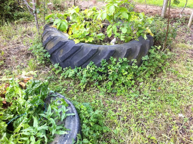 potatoes growing in old tyres