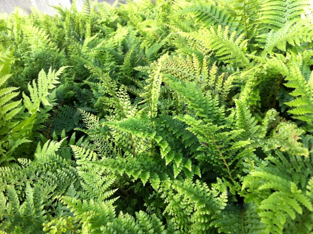 polystichum setiferum