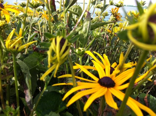 rudbeckia in flower