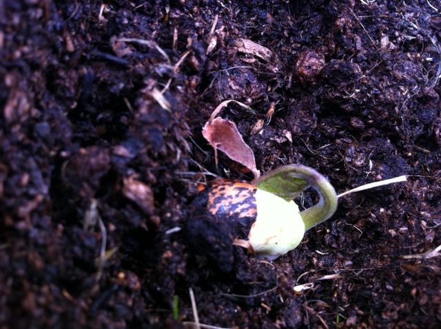 runner bean seedling