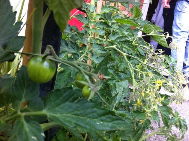 tomato plant hedge