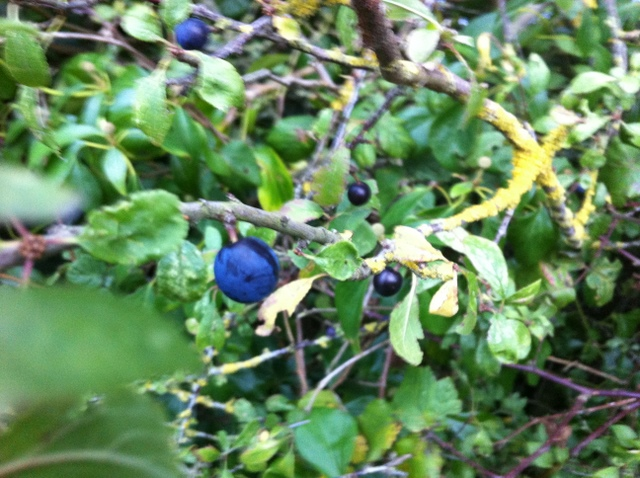 sloe fruit