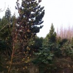 christmas tree farm (2)