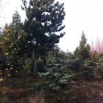 christmas tree farm (3)