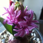 hyacinth flower