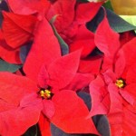 irish plants christmas (3)