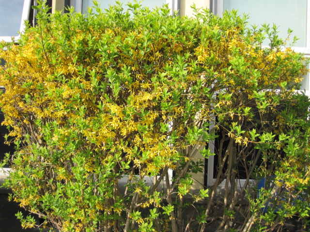 10 plants for an irish hedge peter donegan landscaping ltd dublin possibly better for the more informal type hedge but i absolutely love this plant for its spring time yellow flowers on bare stems mightylinksfo