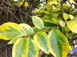 ligustrum ovalifolium aurea variegata