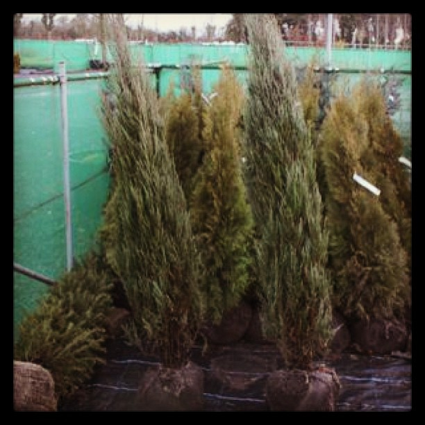 Juniperus 'Blue Arrow'