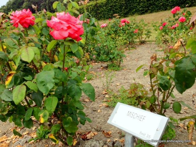 rose festival 2013