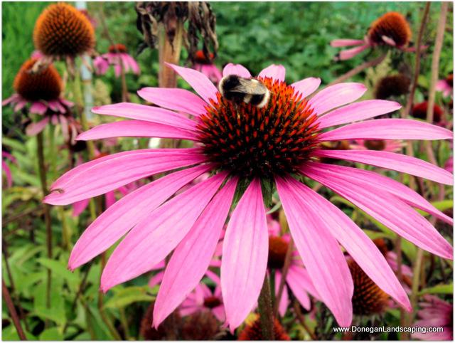 echinacea p magnus