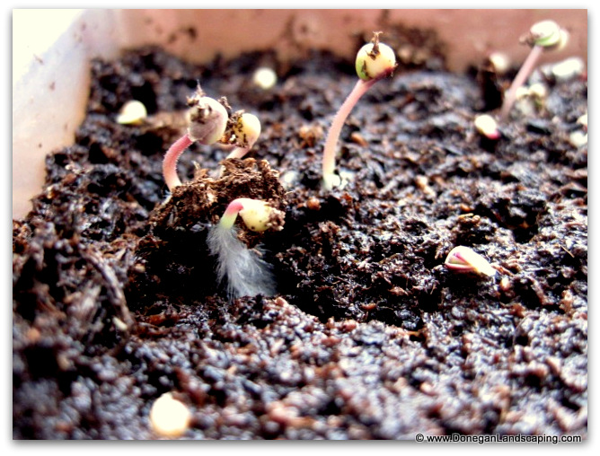 seeds phototropism