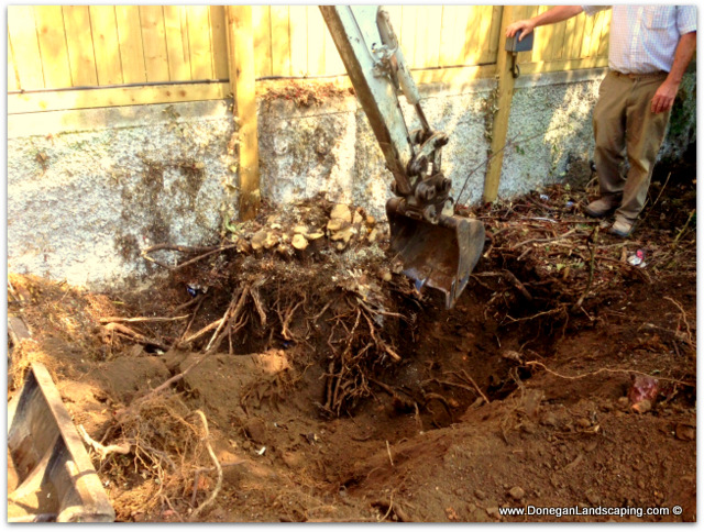 tree roots, dublin