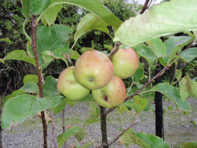 free apples...