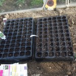 seeds sown in plug trays