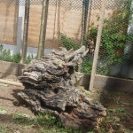 chicken hen feature old tree stump