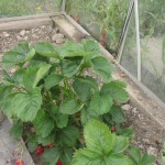 strawberry plant elsanta