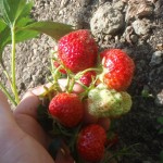 fragaria strawberry-plant fruit