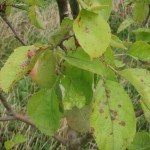 fruit-trees-disease
