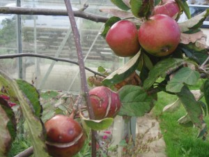 fruit-trees-pest and disease
