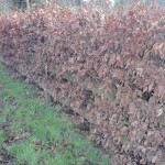 beech hedges