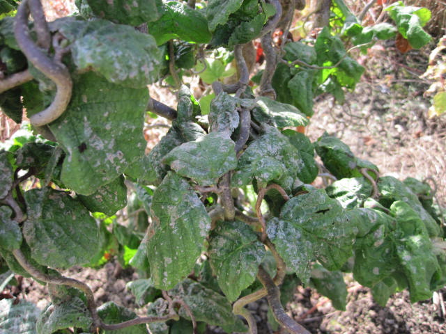 powdery-mildew