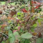 wild-berries
